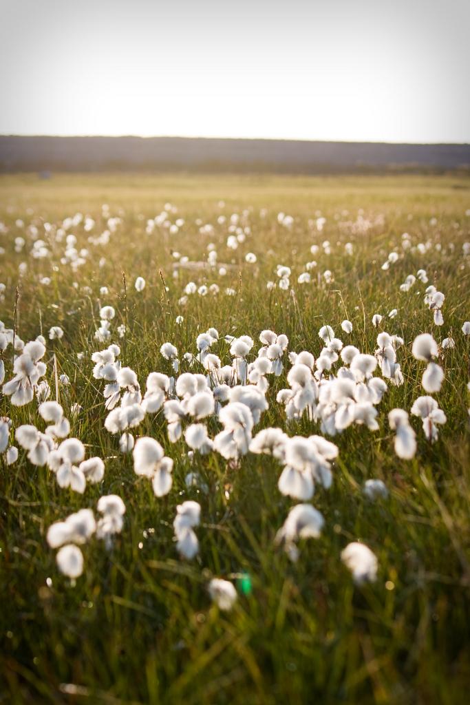 cotton-wool-organic